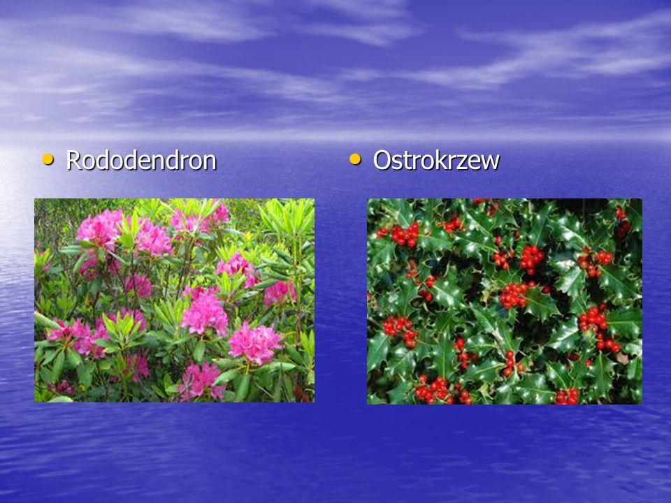 Rododendron Rododendron Ostrokrzew Ostrokrzew