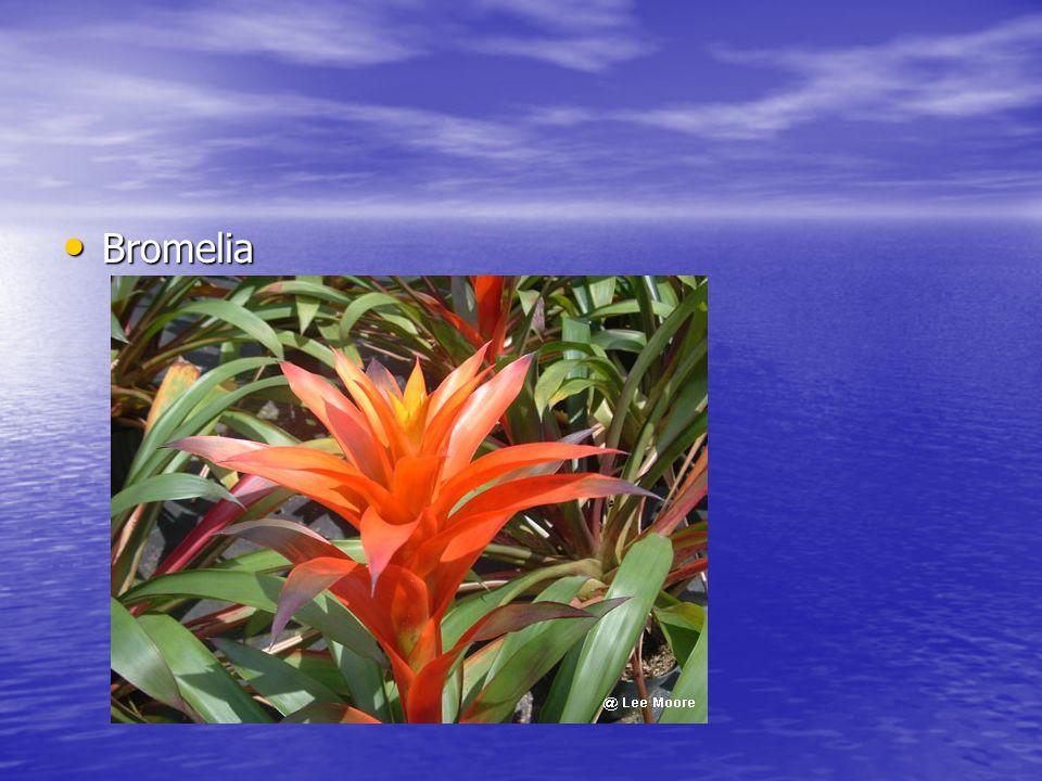 Bromelia Bromelia