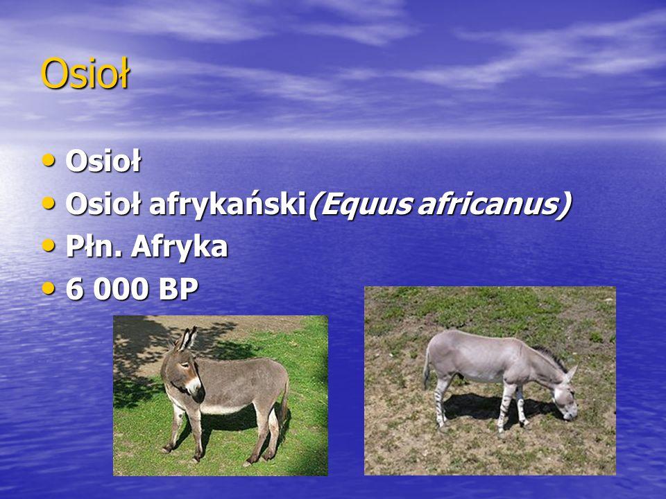 Osioł Osioł Osioł Osioł afrykański(Equus africanus) Osioł afrykański(Equus africanus) Płn. Afryka Płn. Afryka 6 000 BP 6 000 BP