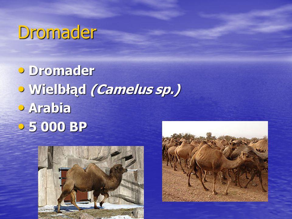 Dromader Dromader Dromader Wielbłąd (Camelus sp.) Wielbłąd (Camelus sp.) Arabia Arabia 5 000 BP 5 000 BP