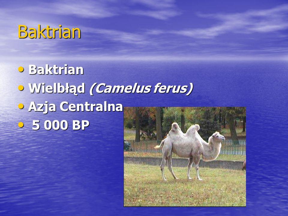 Baktrian Baktrian Baktrian Wielbłąd (Camelus ferus) Wielbłąd (Camelus ferus) Azja Centralna Azja Centralna 5 000 BP 5 000 BP