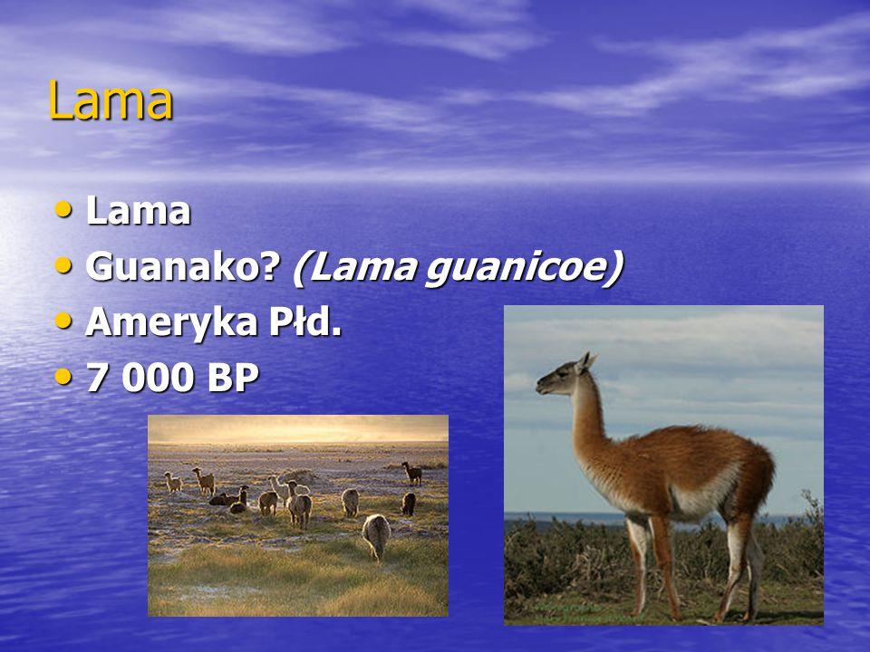 Lama Lama Lama Guanako? (Lama guanicoe) Guanako? (Lama guanicoe) Ameryka Płd. Ameryka Płd. 7 000 BP 7 000 BP