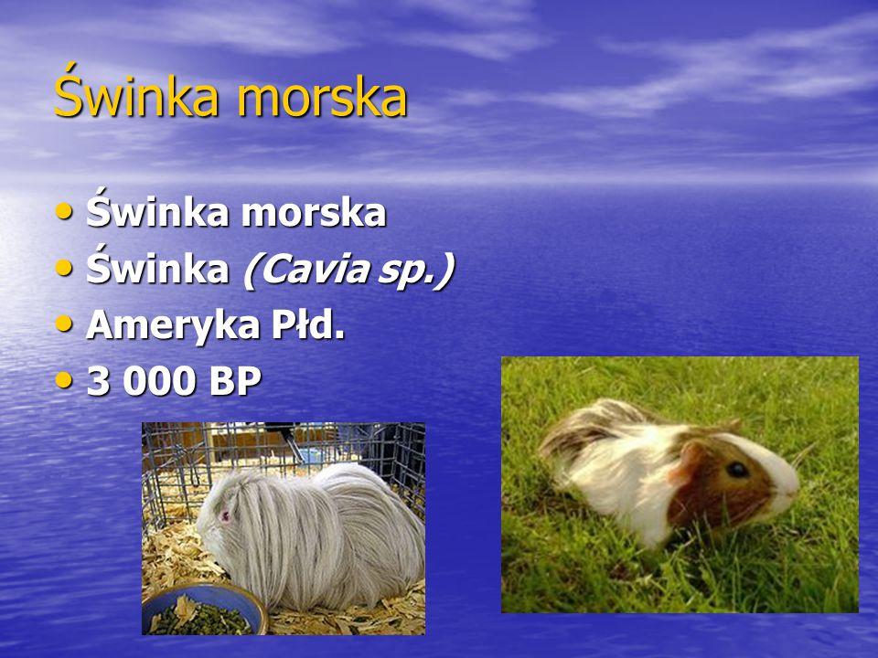 Świnka morska Świnka morska Świnka morska Świnka (Cavia sp.) Świnka (Cavia sp.) Ameryka Płd. Ameryka Płd. 3 000 BP 3 000 BP