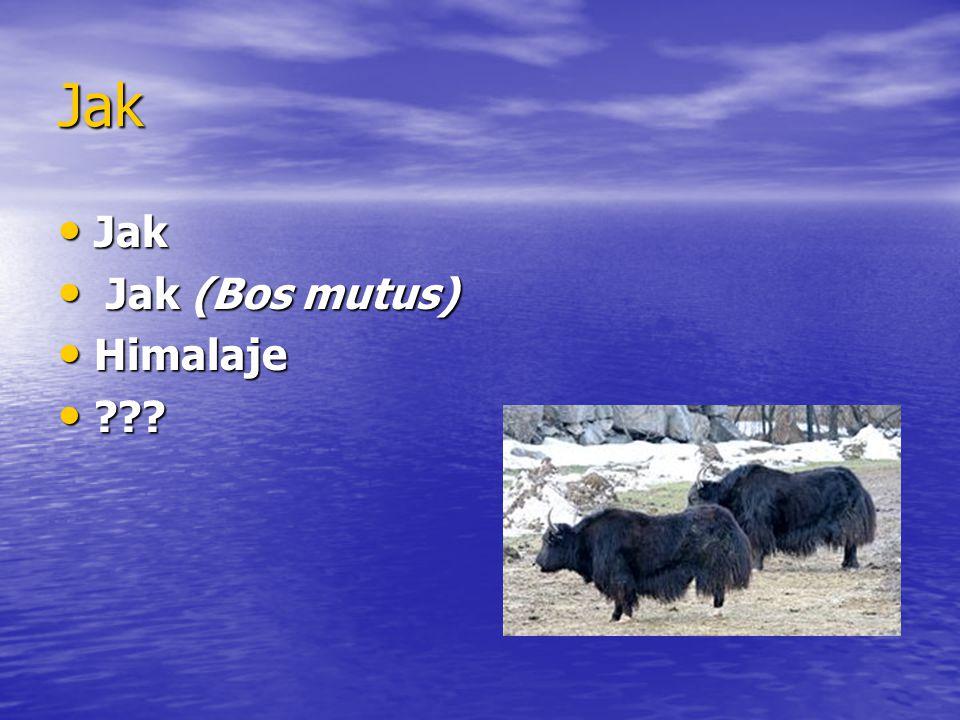 Jak Jak Jak Jak (Bos mutus) Jak (Bos mutus) Himalaje Himalaje ??? ???