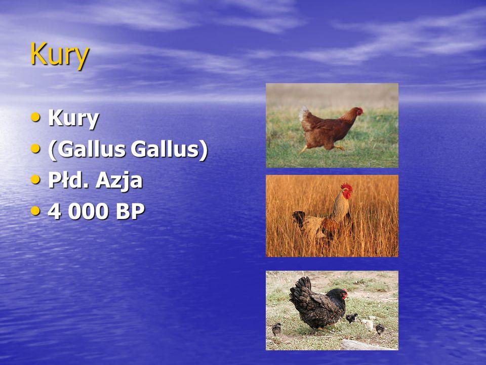 Kury Kury Kury (Gallus Gallus) (Gallus Gallus) Płd. Azja Płd. Azja 4 000 BP 4 000 BP