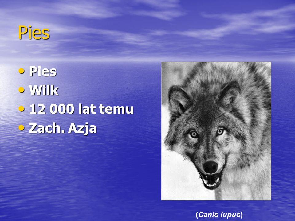 Pies Pies Pies Wilk Wilk 12 000 lat temu 12 000 lat temu Zach. Azja Zach. Azja (Canis lupus)
