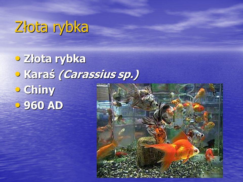 Złota rybka Złota rybka Złota rybka Karaś (Carassius sp.) Karaś (Carassius sp.) Chiny Chiny 960 AD 960 AD