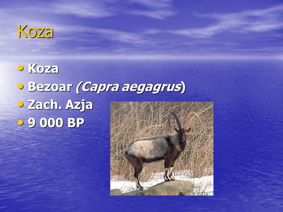 Koza Koza Koza Bezoar (Capra aegagrus) Bezoar (Capra aegagrus) Zach. Azja Zach. Azja 9 000 BP 9 000 BP