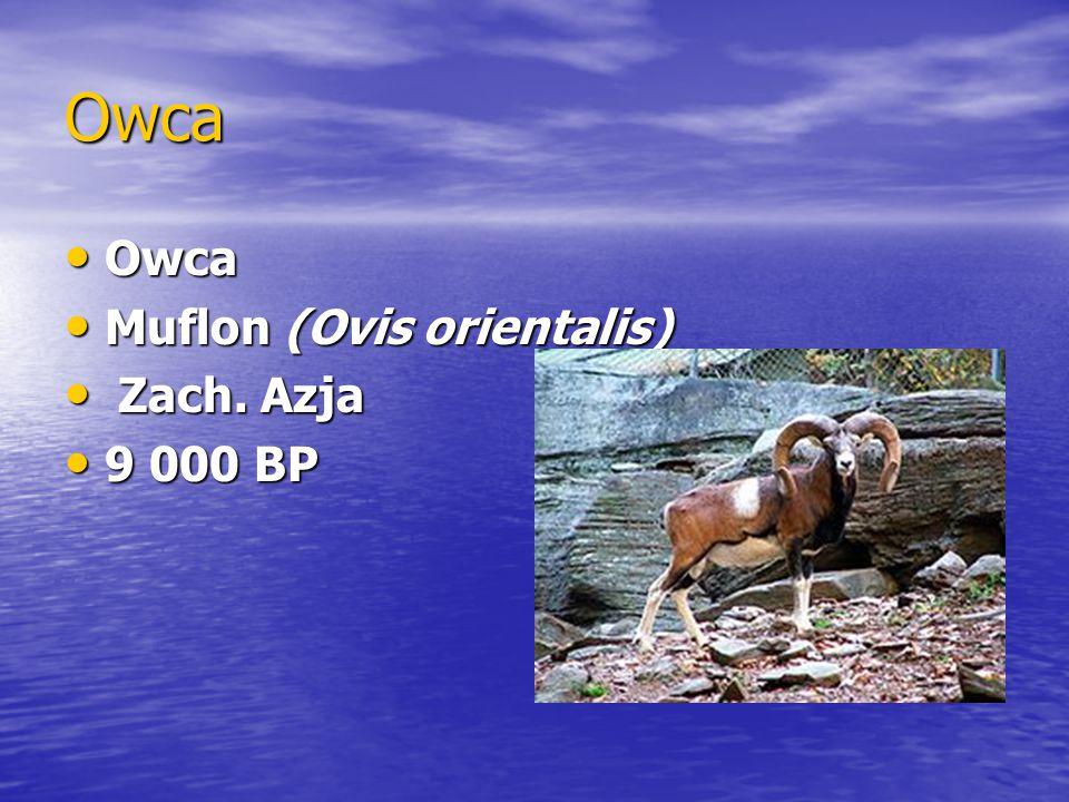 Owca Owca Owca Muflon (Ovis orientalis) Muflon (Ovis orientalis) Zach. Azja Zach. Azja 9 000 BP 9 000 BP