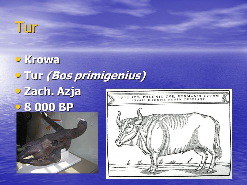 Świnia Świnia Świnia Dzik (Sus scrofa) Dzik (Sus scrofa) Zach. Azja Zach. Azja 8 000 BP 8 000 BP