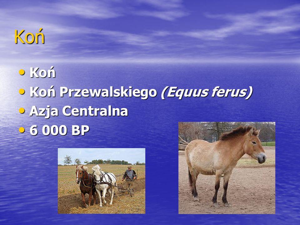 Koń Koń Koń Koń Przewalskiego (Equus ferus) Koń Przewalskiego (Equus ferus) Azja Centralna Azja Centralna 6 000 BP 6 000 BP