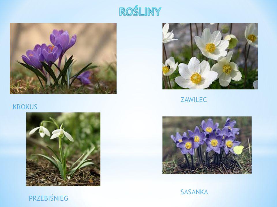 ZWIASTUN WIOSNY Wiosna rozpoczyna się 21 marca.