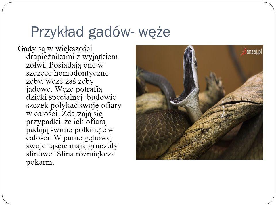 Przykład gadów- węże Gady są w większości drapieżnikami z wyjątkiem żółwi. Posiadają one w szczęce homodontyczne zęby, węże zaś zęby jadowe. Węże potr