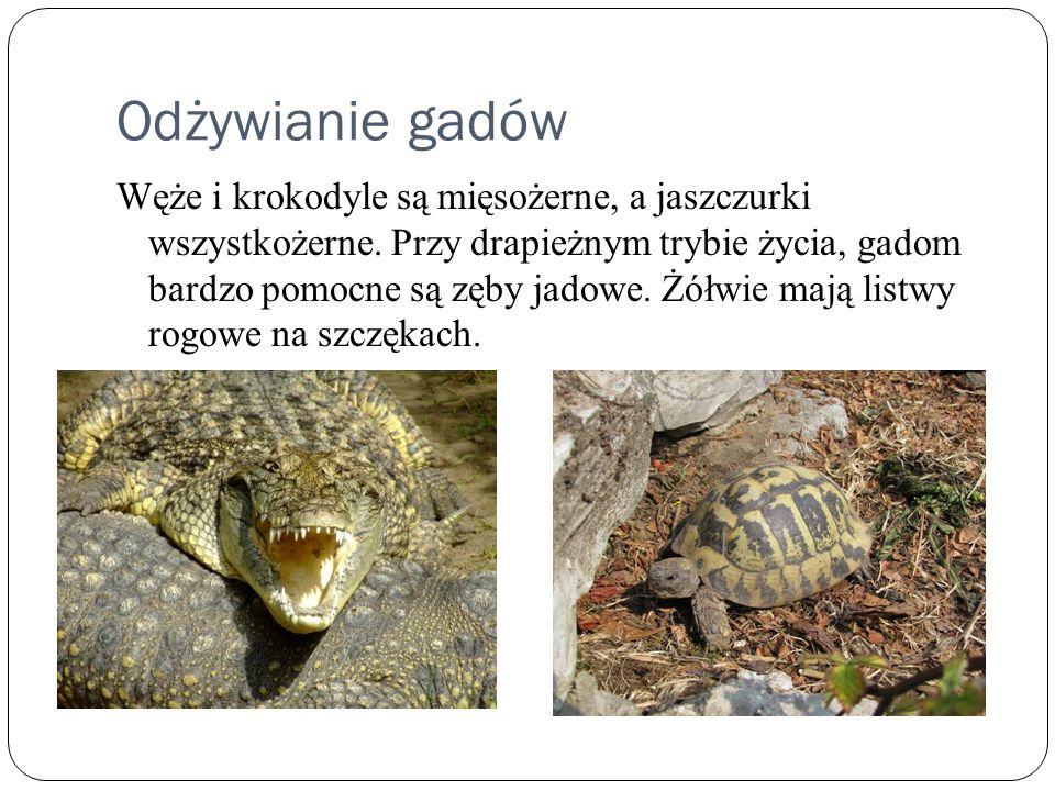 Odżywianie gadów Węże i krokodyle są mięsożerne, a jaszczurki wszystkożerne. Przy drapieżnym trybie życia, gadom bardzo pomocne są zęby jadowe. Żółwie