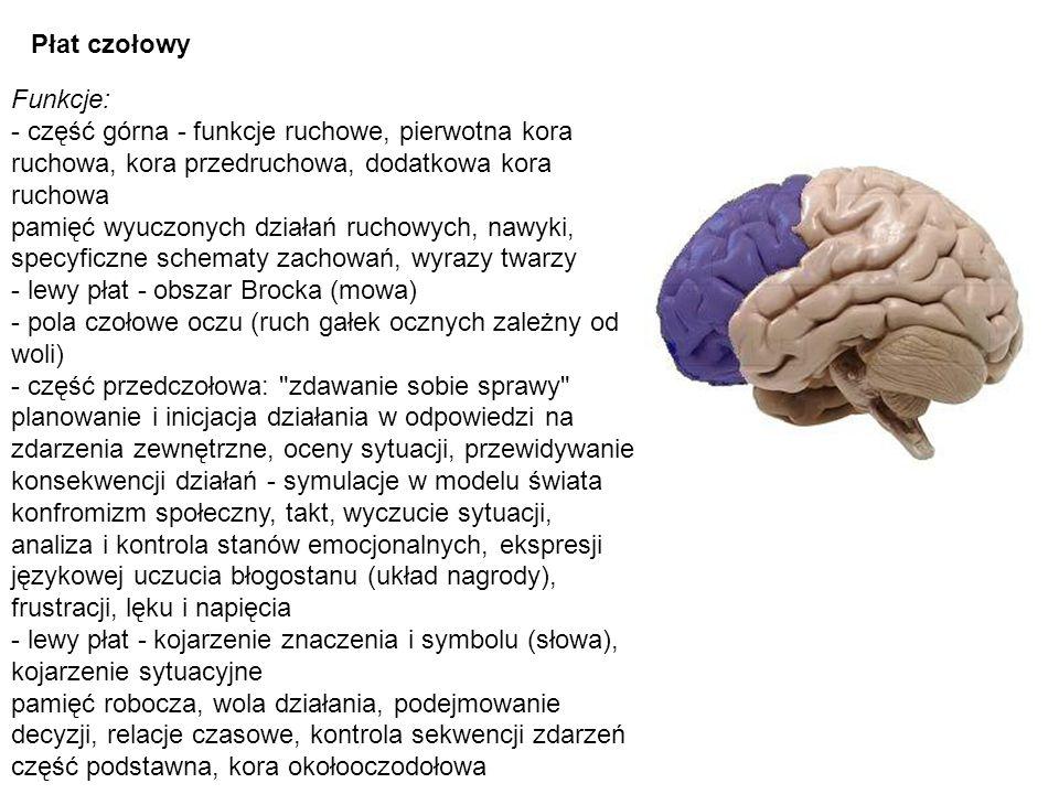 Płat czołowy Funkcje: - część górna - funkcje ruchowe, pierwotna kora ruchowa, kora przedruchowa, dodatkowa kora ruchowa pamięć wyuczonych działań ruc