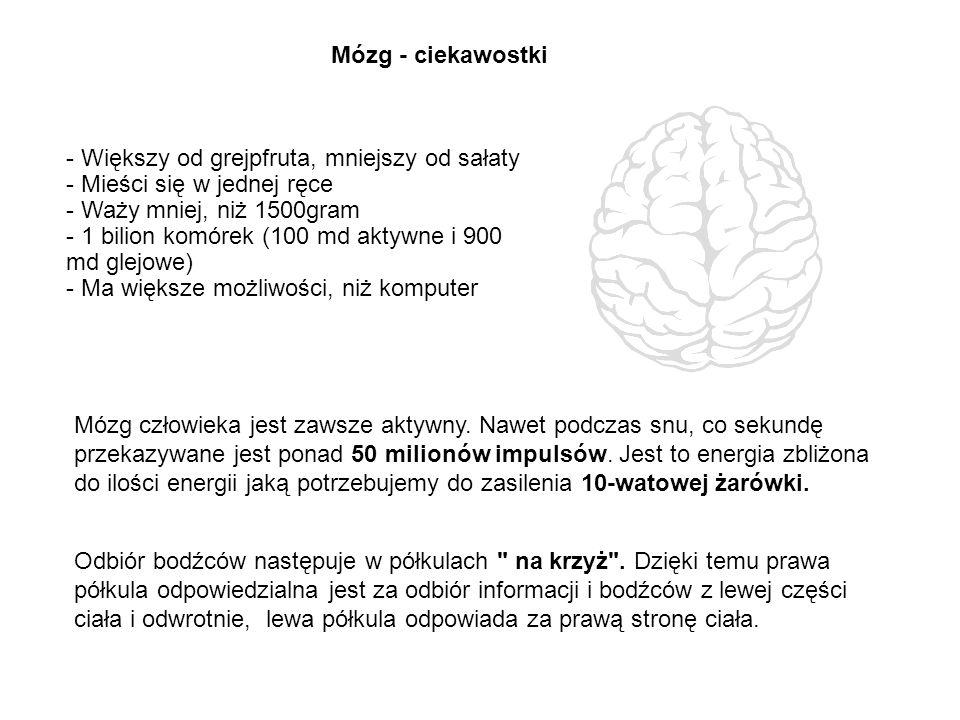Mózg - ciekawostki - Większy od grejpfruta, mniejszy od sałaty - Mieści się w jednej ręce - Waży mniej, niż 1500gram - 1 bilion komórek (100 md aktywn