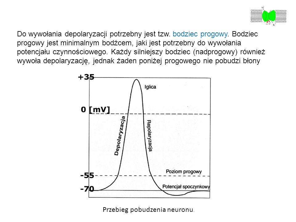 Przebieg pobudzenia neuronu. Do wywołania depolaryzacji potrzebny jest tzw. bodziec progowy. Bodziec progowy jest minimalnym bodźcem, jaki jest potrze