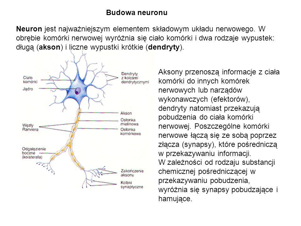 Neuron jest najważniejszym elementem składowym układu nerwowego. W obrębie komórki nerwowej wyróżnia się ciało komórki i dwa rodzaje wypustek: długą (