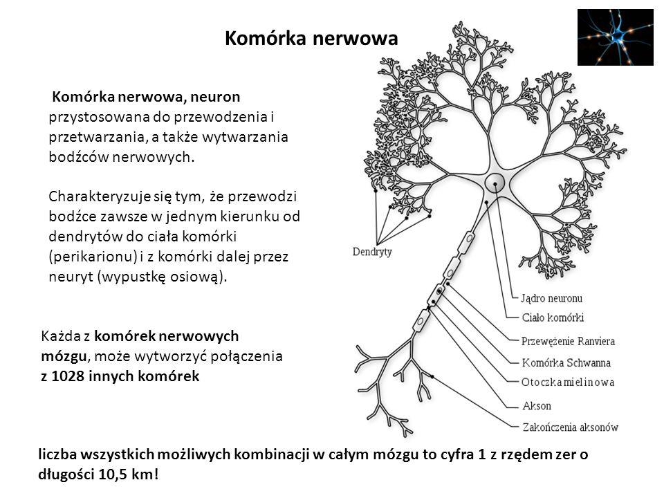 Komórka nerwowa Komórka nerwowa, neuron przystosowana do przewodzenia i przetwarzania, a także wytwarzania bodźców nerwowych. Charakteryzuje się tym,