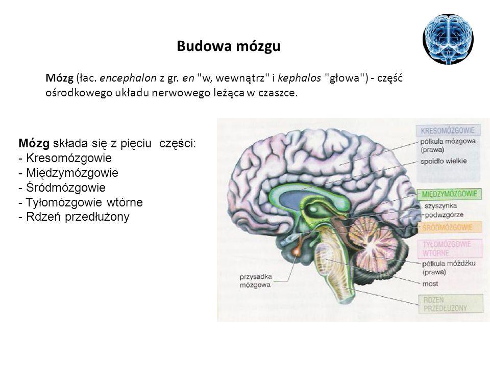 Budowa mózgu Mózg (łac. encephalon z gr. en