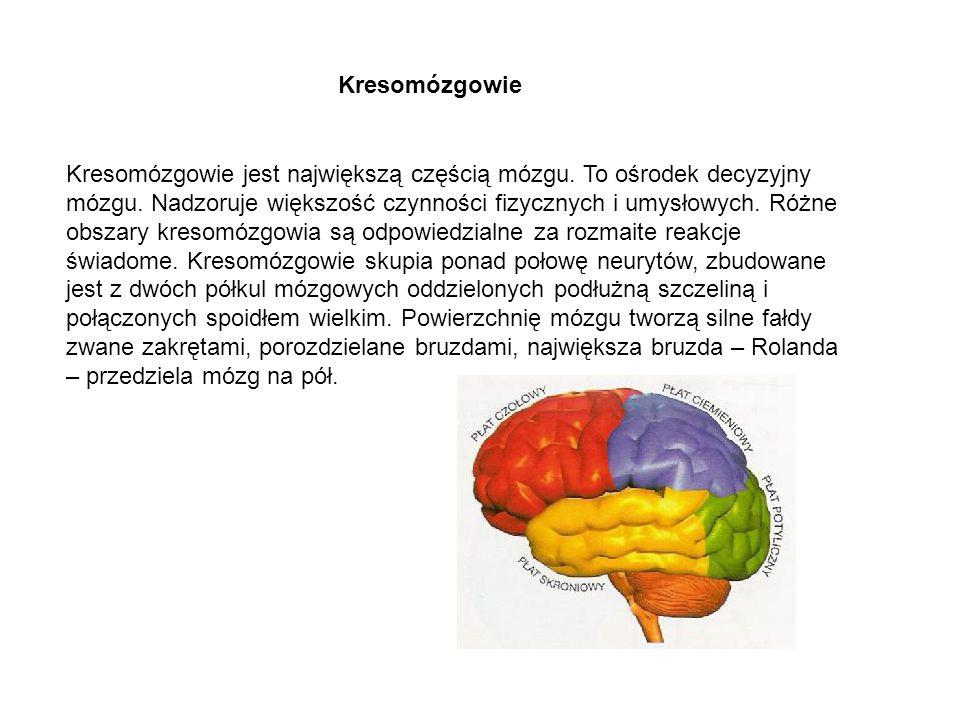 Kresomózgowie jest największą częścią mózgu. To ośrodek decyzyjny mózgu. Nadzoruje większość czynności fizycznych i umysłowych. Różne obszary kresomóz