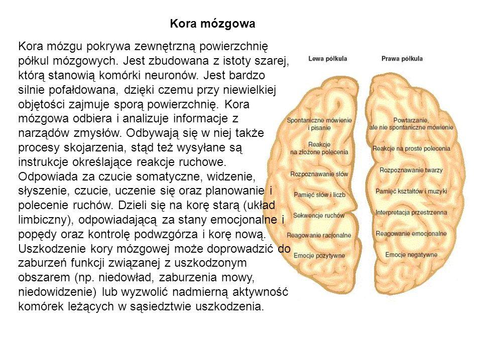 Kora mózgowa Kora mózgu pokrywa zewnętrzną powierzchnię półkul mózgowych. Jest zbudowana z istoty szarej, którą stanowią komórki neuronów. Jest bardzo