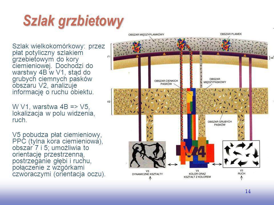 EE141 14 Szlak grzbietowy Szlak wielkokomórkowy: przez płat potyliczny szlakiem grzebietowym do kory ciemieniowej.