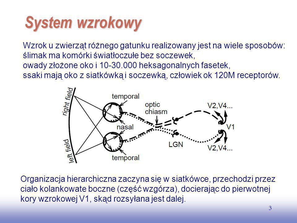 EE141 3 System wzrokowy Organizacja hierarchiczna zaczyna się w siatkówce, przechodzi przez ciało kolankowate boczne (część wzgórza), docierając do pierwotnej kory wzrokowej V1, skąd rozsyłana jest dalej.