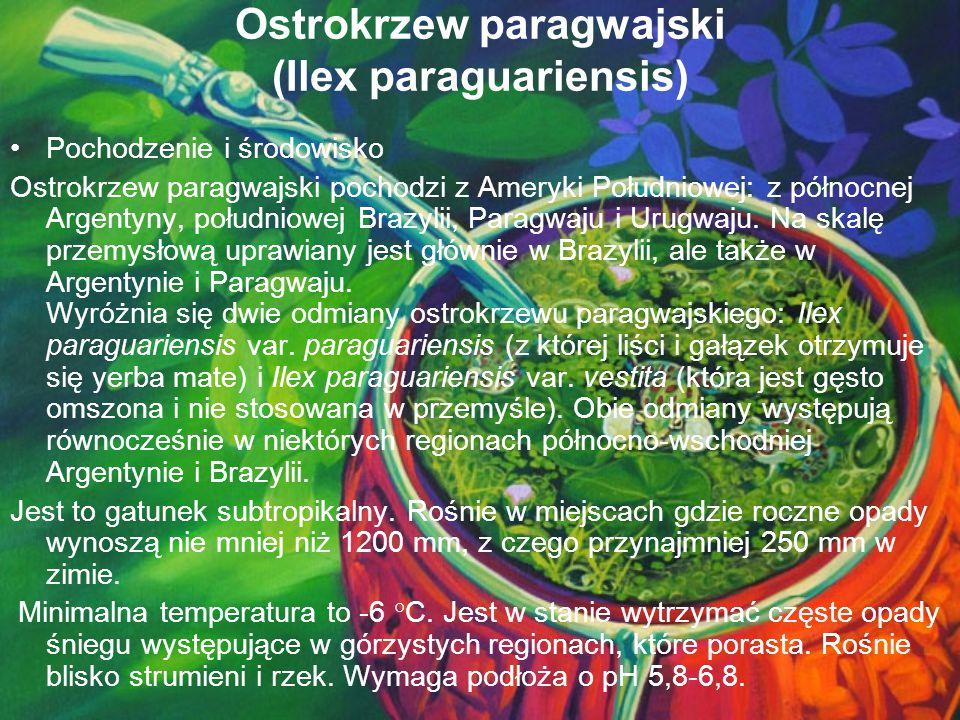 Ostrokrzew paragwajski (Ilex paraguariensis) Pochodzenie i środowisko Ostrokrzew paragwajski pochodzi z Ameryki Południowej: z północnej Argentyny, po