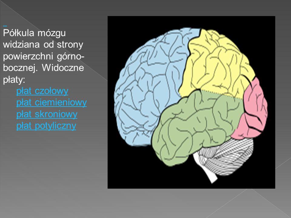 Półkula mózgu widziana od strony powierzchni górno- bocznej. Widoczne płaty: płat czołowy płat ciemieniowy płat skroniowy płat potyliczny