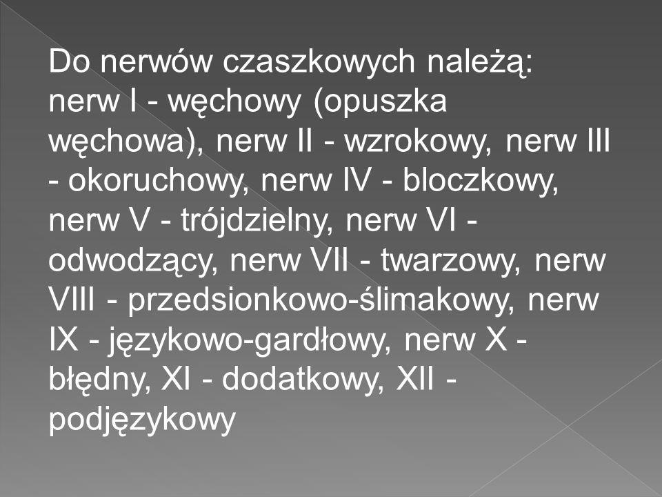 Do nerwów czaszkowych należą: nerw I - węchowy (opuszka węchowa), nerw II - wzrokowy, nerw III - okoruchowy, nerw IV - bloczkowy, nerw V - trójdzielny