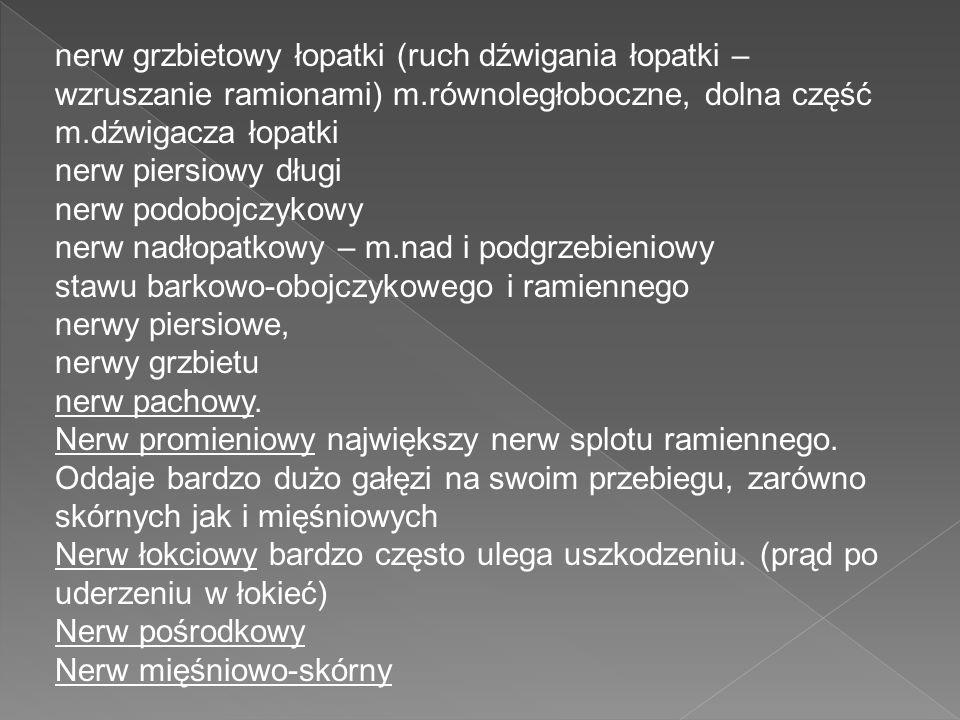nerw grzbietowy łopatki (ruch dźwigania łopatki – wzruszanie ramionami) m.równoległoboczne, dolna część m.dźwigacza łopatki nerw piersiowy długi nerw
