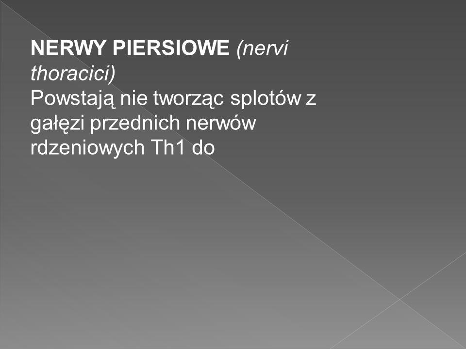 NERWY PIERSIOWE (nervi thoracici) Powstają nie tworząc splotów z gałęzi przednich nerwów rdzeniowych Th1 do