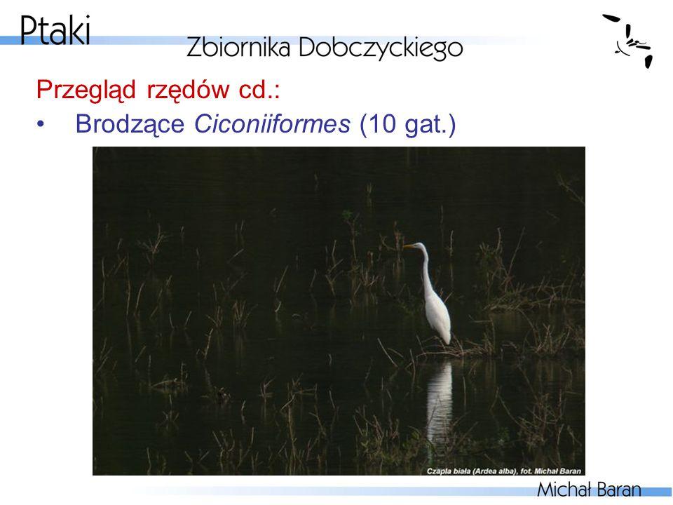 Przegląd rzędów cd.: Brodzące Ciconiiformes (10 gat.)