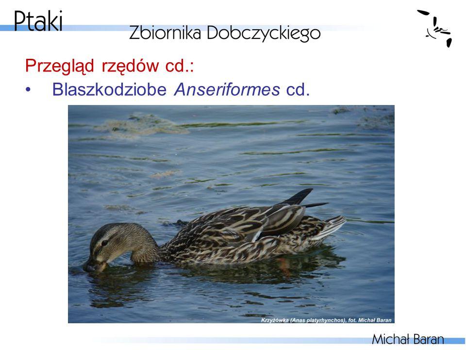 Przegląd rzędów cd.: Blaszkodziobe Anseriformes cd.