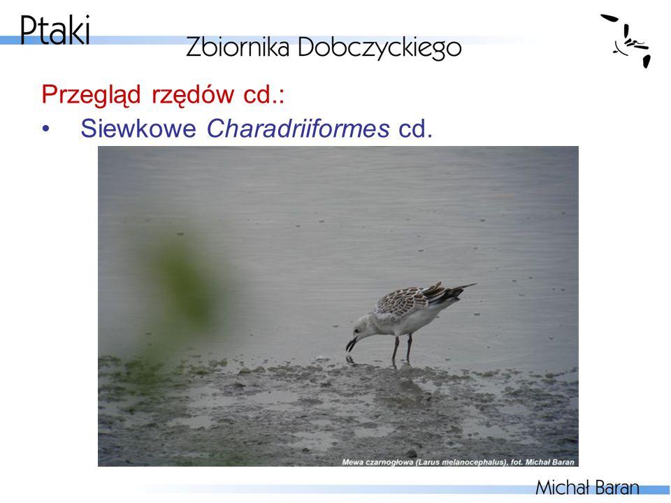 Przegląd rzędów cd.: Siewkowe Charadriiformes cd.