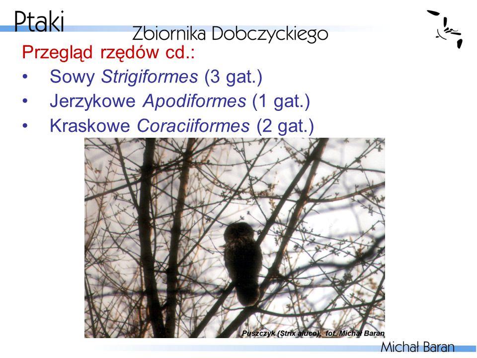Przegląd rzędów cd.: Sowy Strigiformes (3 gat.) Jerzykowe Apodiformes (1 gat.) Kraskowe Coraciiformes (2 gat.)