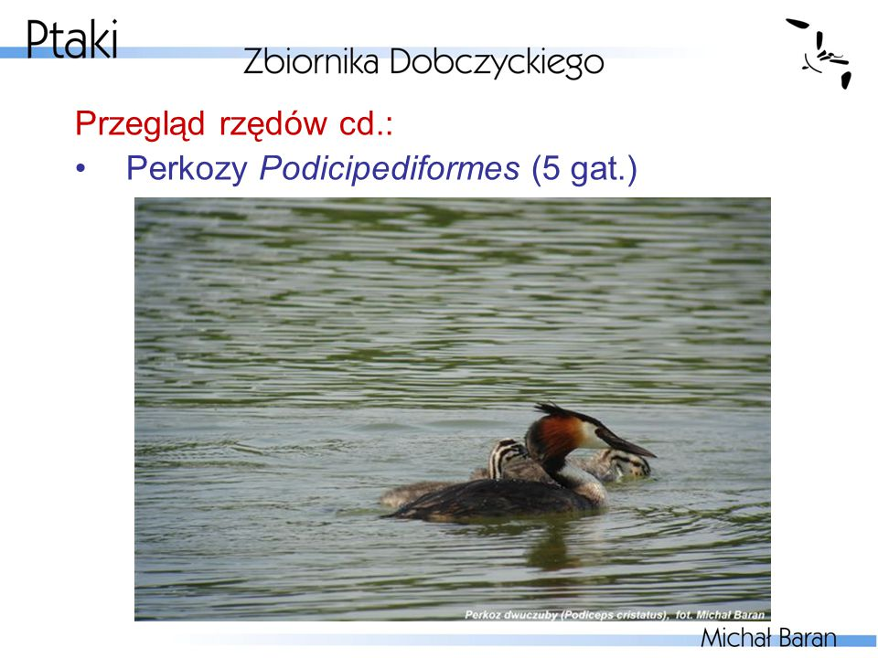 Przegląd rzędów cd.: Pełnopłetwe Pelecaniformes (1 gat.)