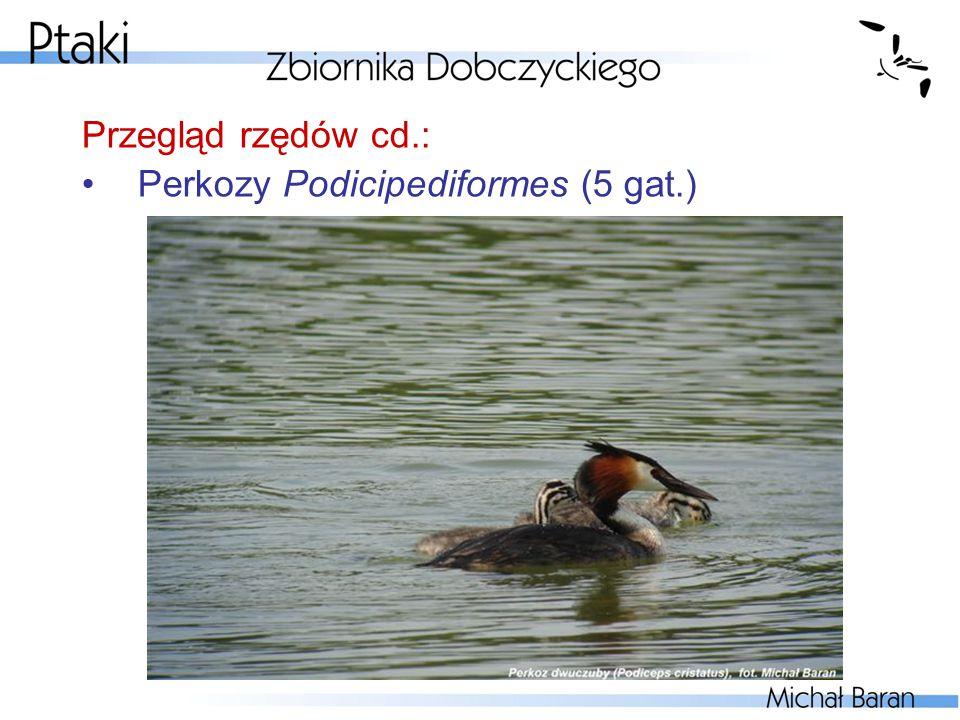 Przegląd rzędów cd.: Perkozy Podicipediformes (5 gat.)