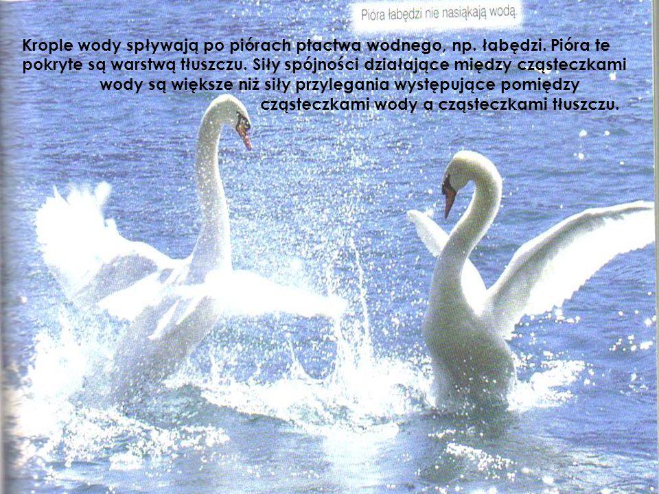 Krople wody spływają po piórach ptactwa wodnego, np. łabędzi. Pióra te pokryte są warstwą tłuszczu. Siły spójności działające między cząsteczkami wody
