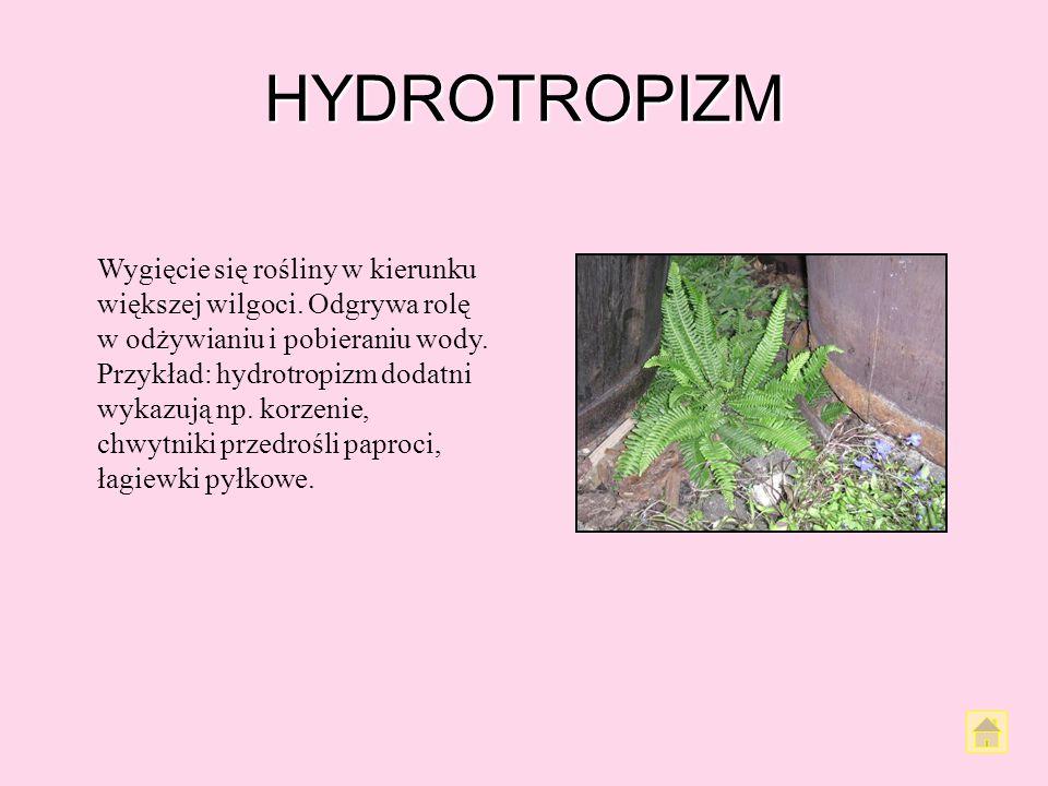 TRAUMATROPIZM Traumatropizm jest odpowiedzią rośliny na zranienie. Korzenie reagują z reguły ujemnie, natomiast pędy najpierw dodatnio, a potem – z cz