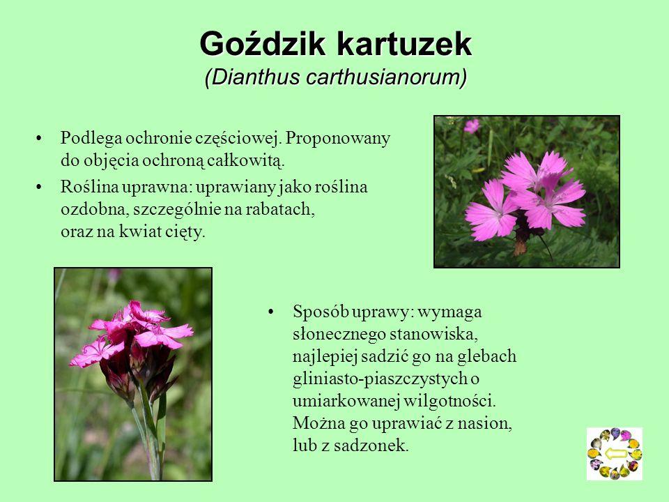 Cykoria podróżnik (Cichorium intybus) Roślina lecznicza Używana w ziołolecznictwie od czasów prehistorycznych, stosowana także w homeopatii. Sztuka ku