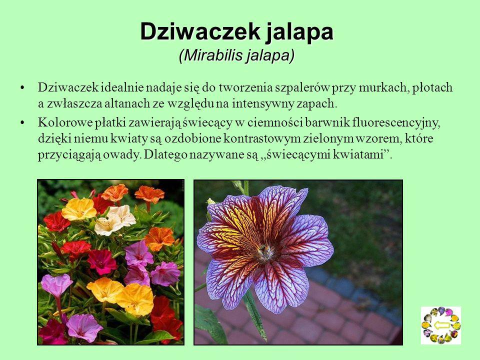 Goryczel żmijcowaty (Picris echioides) Roślina pokryta szorstkimi szczecinkami, 30-80 cm wysokości.