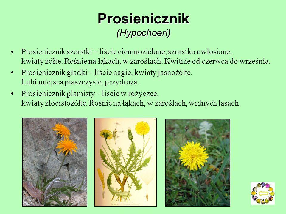 Wiesiołek dwuletni (Oenothera biennis) Rośliny lecznicze: olej wiesiołkowy (Oleum Oenotherae) sporządzany z nasion jest stosowany w lecznictwie i do w