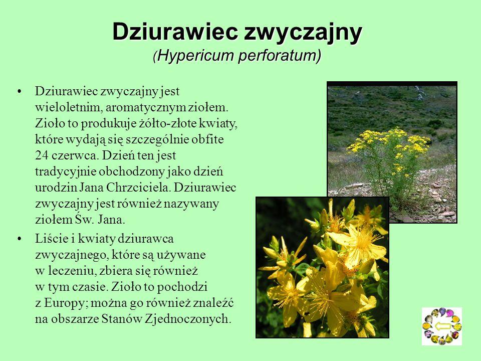 Prosienicznik (Hypochoeri) Prosienicznik szorstki – liście ciemnozielone, szorstko owłosione, kwiaty żółte. Rośnie na łąkach, w zaroślach. Kwitnie od