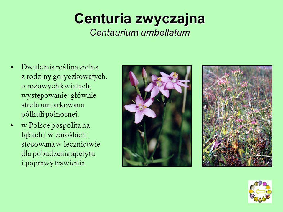 Dziurawiec zwyczajny ( Hypericum perforatum) Dziurawiec zwyczajny jest wieloletnim, aromatycznym ziołem. Zioło to produkuje żółto-złote kwiaty, które