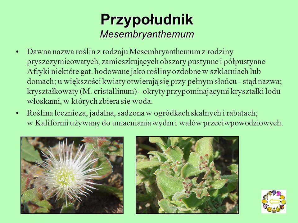 Nagietek lekarski Calendula officinalis Pierwsze wzmianki o zastosowaniu nagietka w medycynie pochodzą z XII w. W przeszłości liście były wykorzystywa
