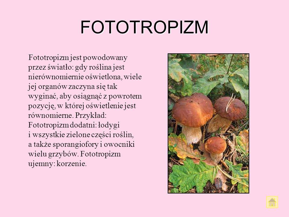 RUCHY AUTONOMICZNE Ruchy autonomiczne nie są reakcją rośliny na bodźce zewnętrzne, lecz wynikiem różnych procesów zachodzących w organizmie rośliny, k