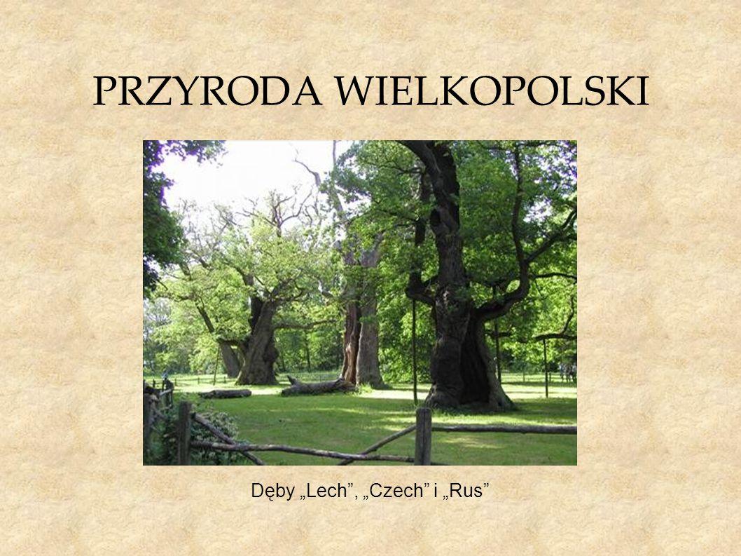 """PRZYRODA WIELKOPOLSKI Dęby """"Lech"""", """"Czech"""" i """"Rus"""""""