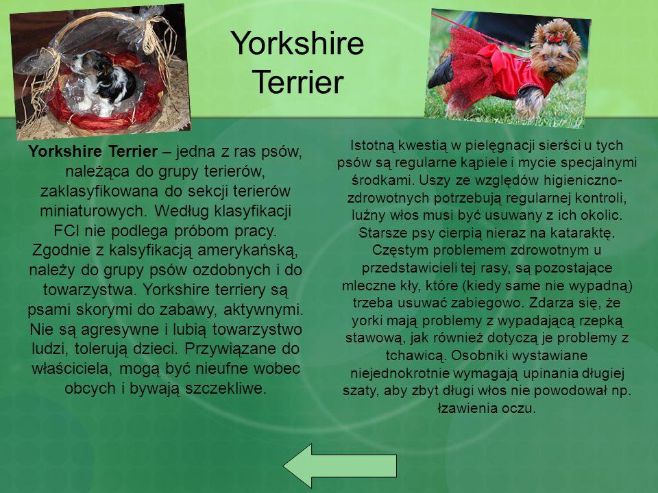 Yorkshire Terrier – jedna z ras psów, należąca do grupy terierów, zaklasyfikowana do sekcji terierów miniaturowych. Według klasyfikacji FCI nie podleg